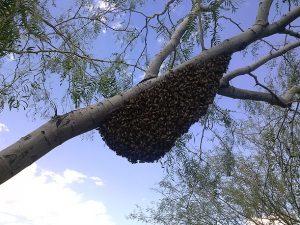 August swarm