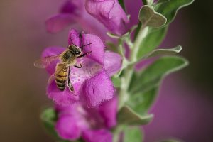 Foraging worker bee