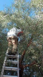 Greg removing swarm from tree