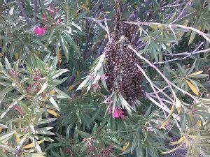 Oleander Swarm