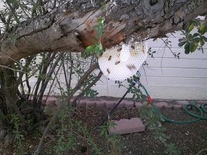 Open hive on tree limb