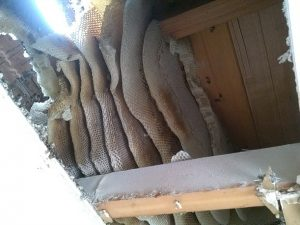 Roof infeastation