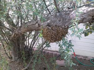 Swarm before live removal