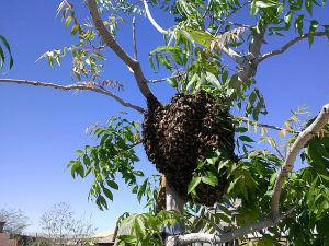 Swarm in pecan tree