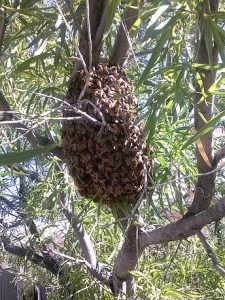 Swarm on desert willow