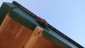 Swarm on eave