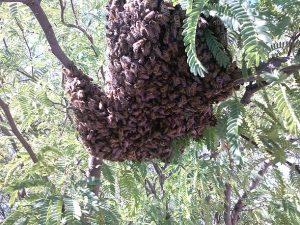 Swarm on mesquite