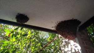 Two swarms on overhang