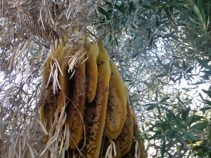 Very mean open hive in tree